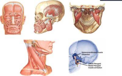Filogenesi del sistema stomatognatico: da organo viscerale a organo emozionale